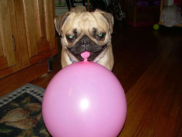Balloon Pug