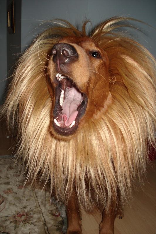 Baxter the golden retriever lion
