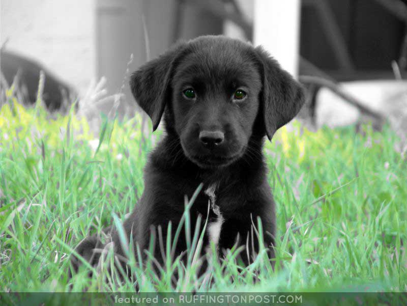 Black-Lab-JSF306-Flickr