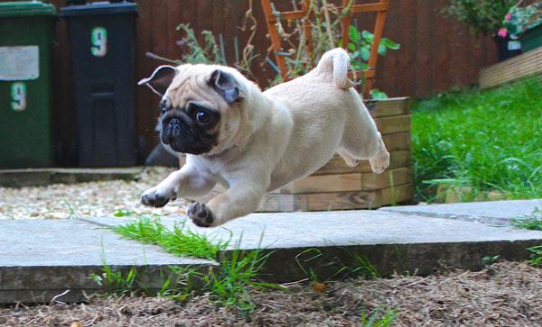Bounding Pug