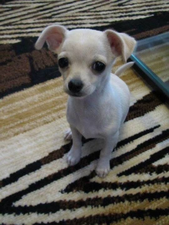 Floppy-eared Chihuahua pup