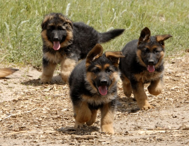 three shepherd pups