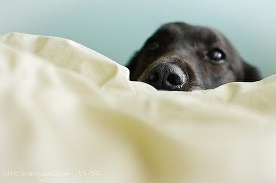 peekaboo black lab
