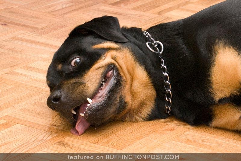 Rottweiler---Dave-Jones---Flickr