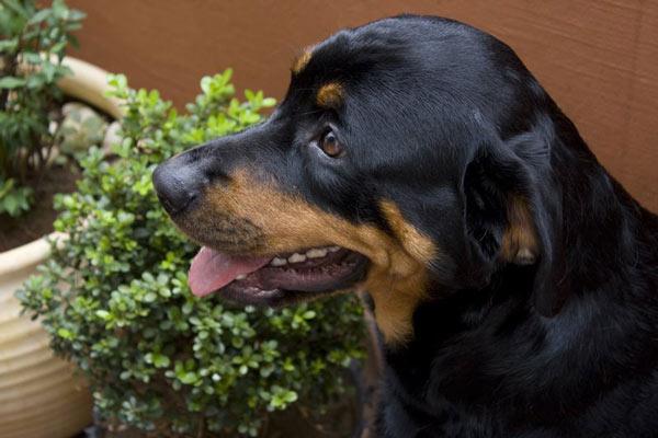 Rottweiler-Joaquim-Procopio---Flickr600