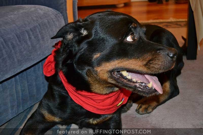 Rottweiler-Shamu-Uwe-Hiksch---Flickr