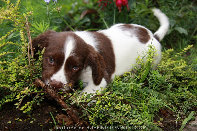 Spaniel-Puppy--Tony-Harrison-Flickr