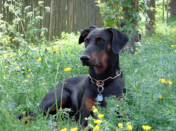 The_Doberman-schelle