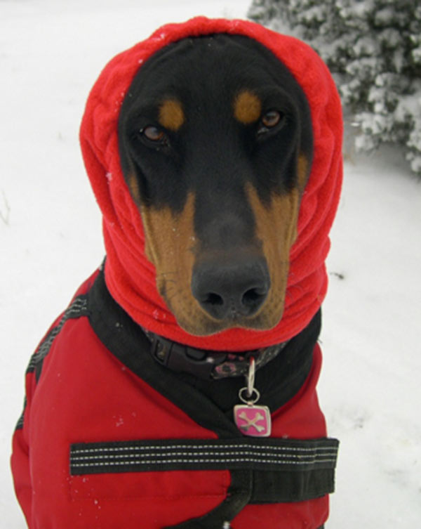 Toasty Warm Doberman