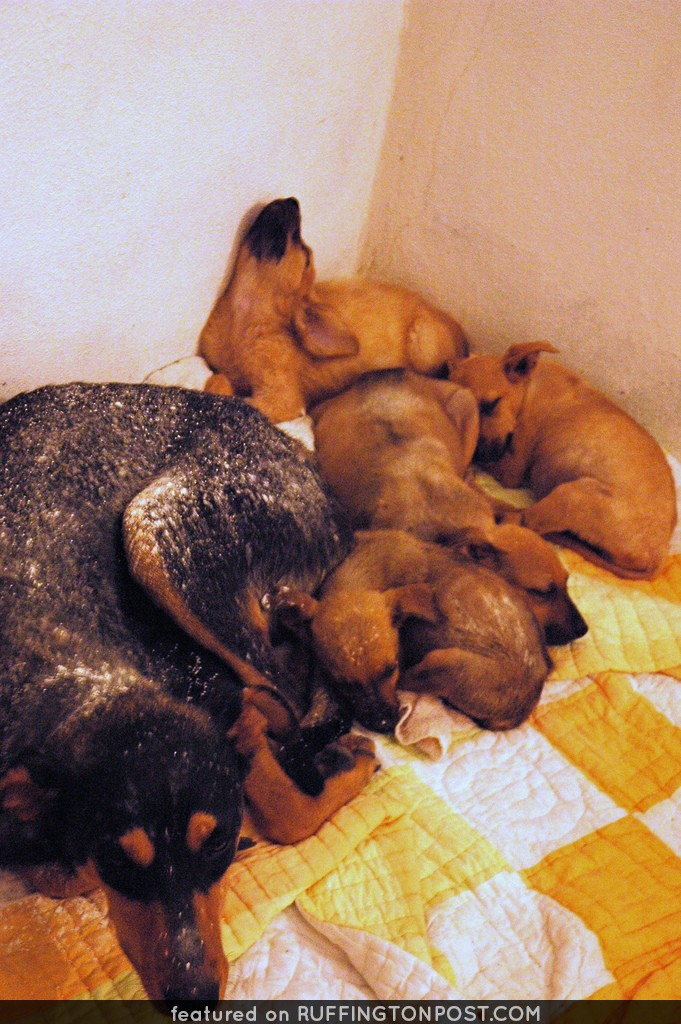 All 5 dogs are captured and rescued!, 4 puppies and momma dog dusted with flea powder, snoozing, San Bruno, Baja California Sur, Mexico