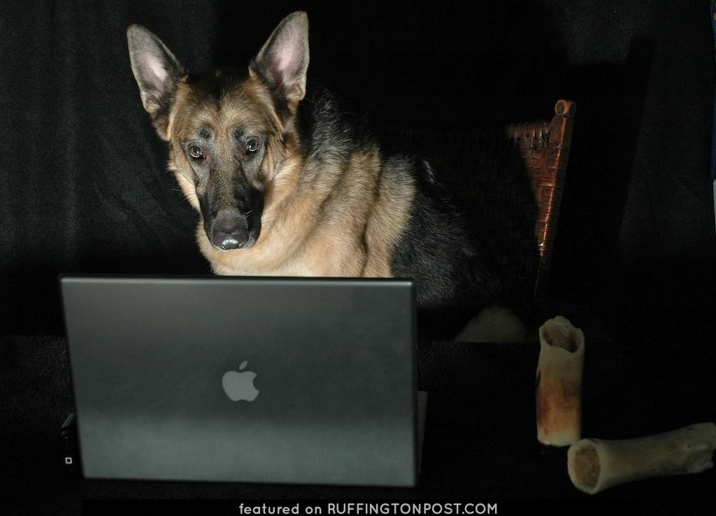 Animal Portrait Photography German Shepherd Dog on Computer - Burning the Midnight Oil with a Mac.  A MacDog.