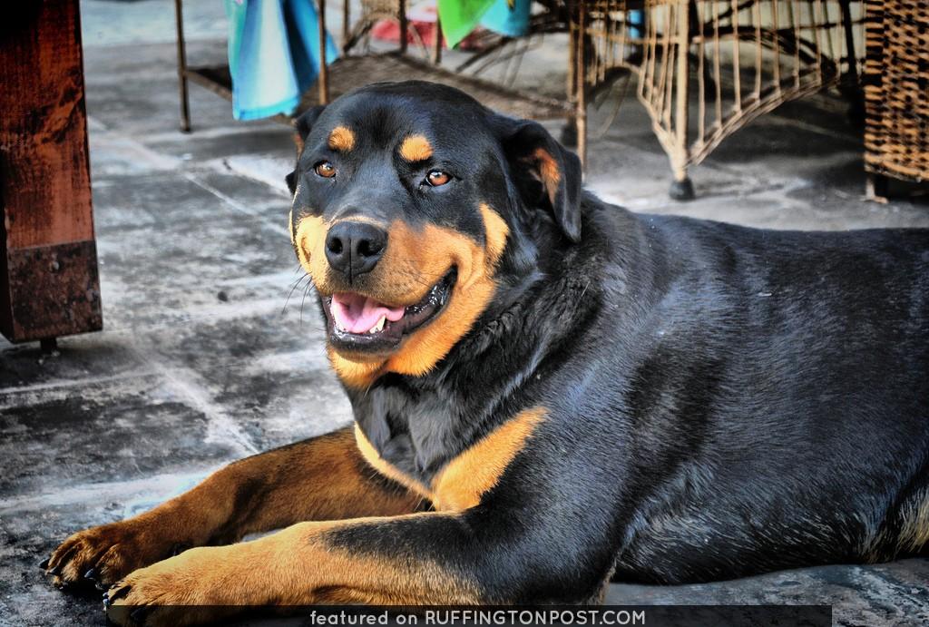 """Aranza:""""Cuerpo de Rottweiler, alma de Labrador""""...."""