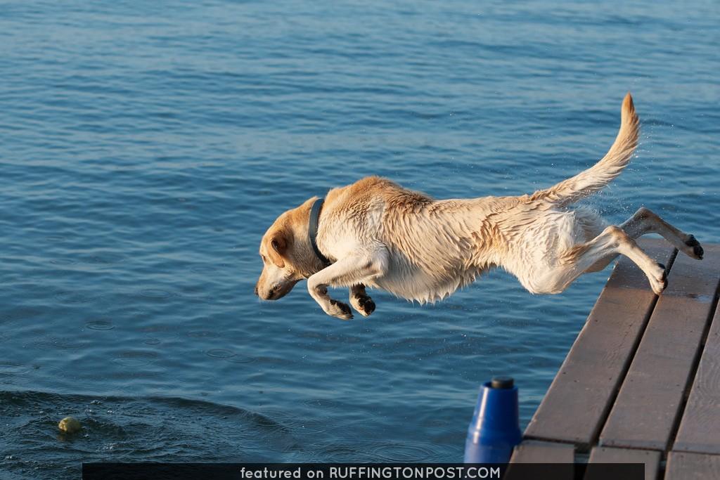 Beacon Shores 2011:  Buddy the Labrador