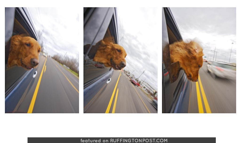 Car Wind, Huge Head, Happy Dog