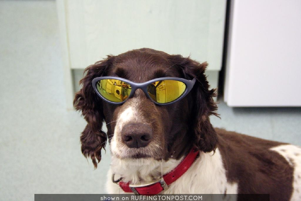 Cool Dude Springer Spaniel IMG_4536