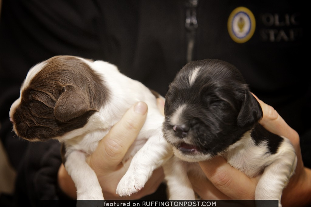 Day 354 - West Midlands Police - Newly born police puppies