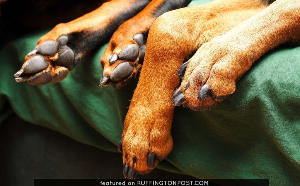 Doberman feet
