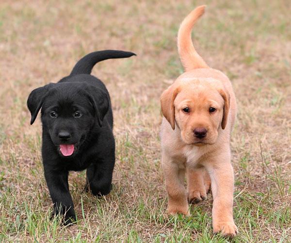 lab-pups