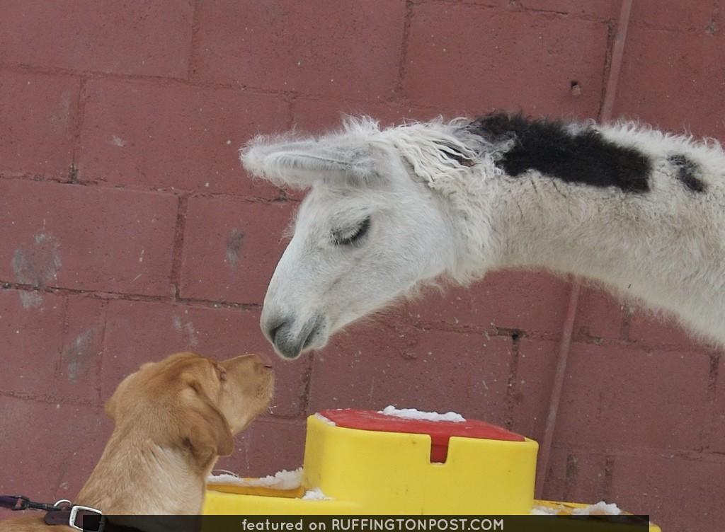 Labrador meets Llama