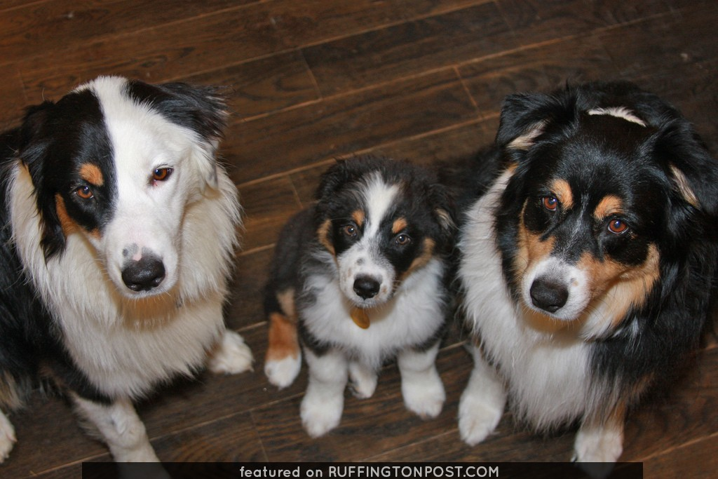 My Three Black Tri Australian Shepherds