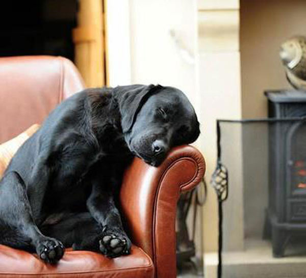 black lab napping