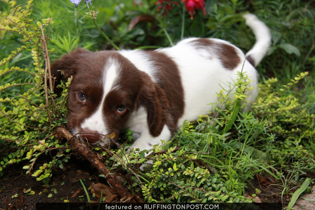 our 7 week old Springer Spaniel puppy IMG_8173