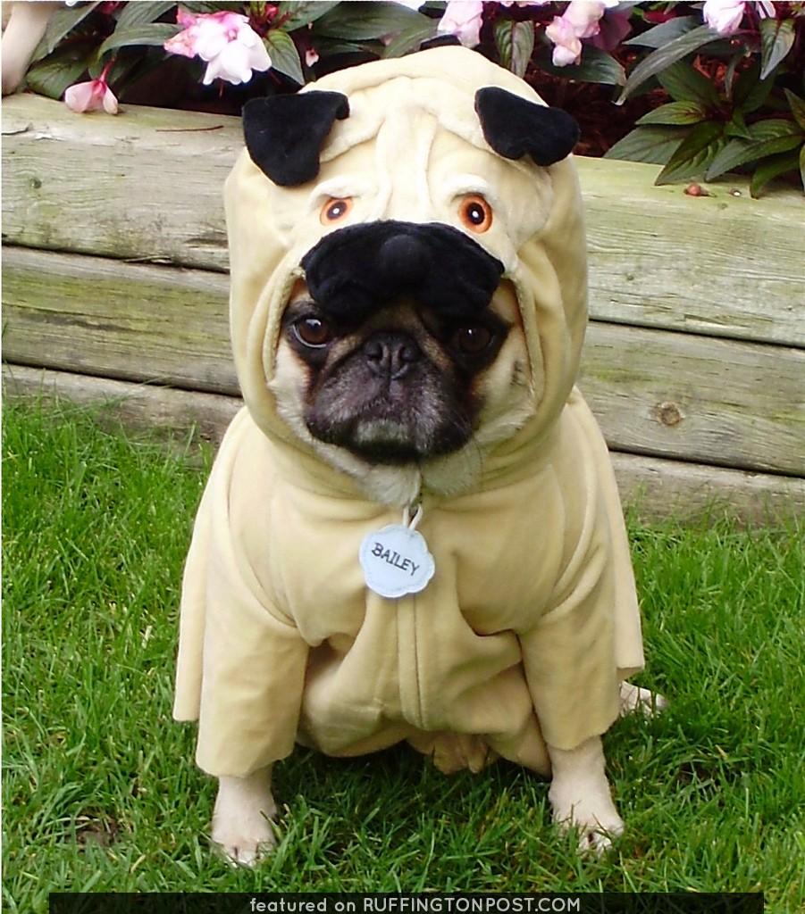 Pug In A Pug Costume 'Pugception'