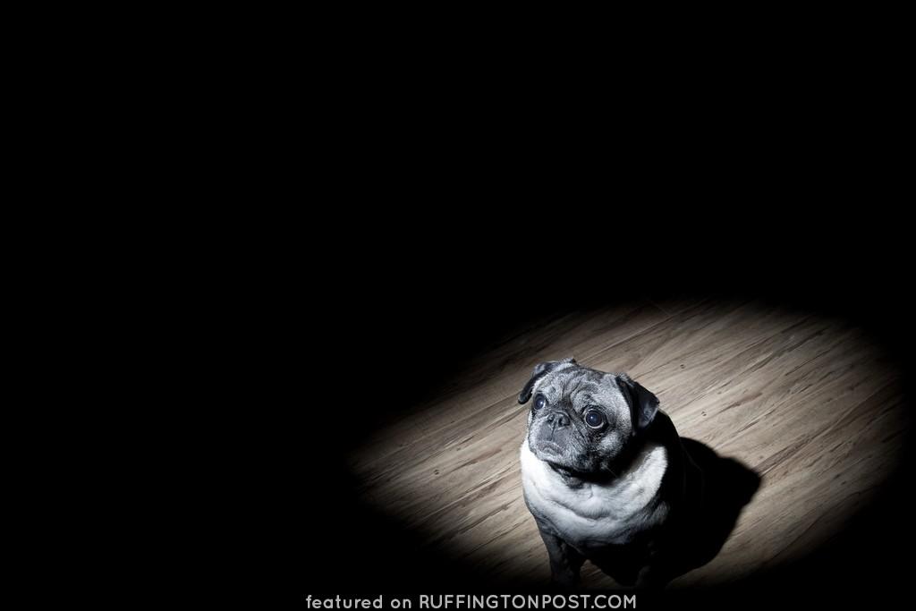 pug in the spotlight #EXPLORE