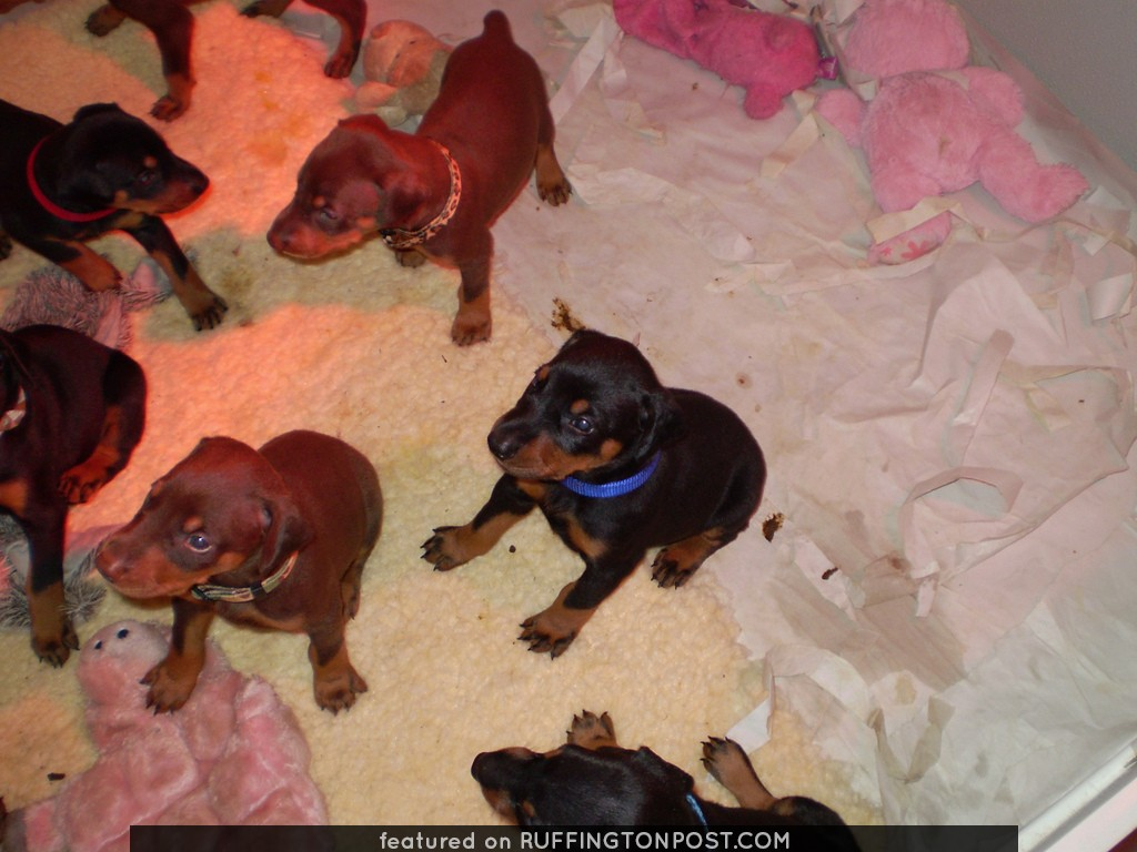 Doberman Puppies And Their Stuffed Animals