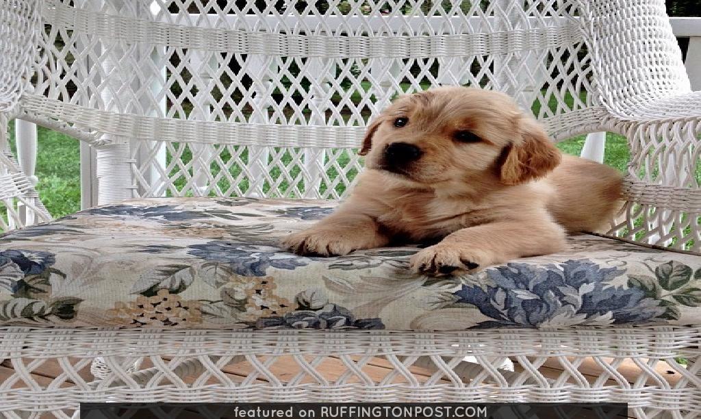 #puppy #pup #dog #golden #retriever #goldenretriever #pupstagram #instapup #instapuppy #iphonesia #iphoneonly #pinkgirl #sweetestthing #wicker - @mmhpixtoo