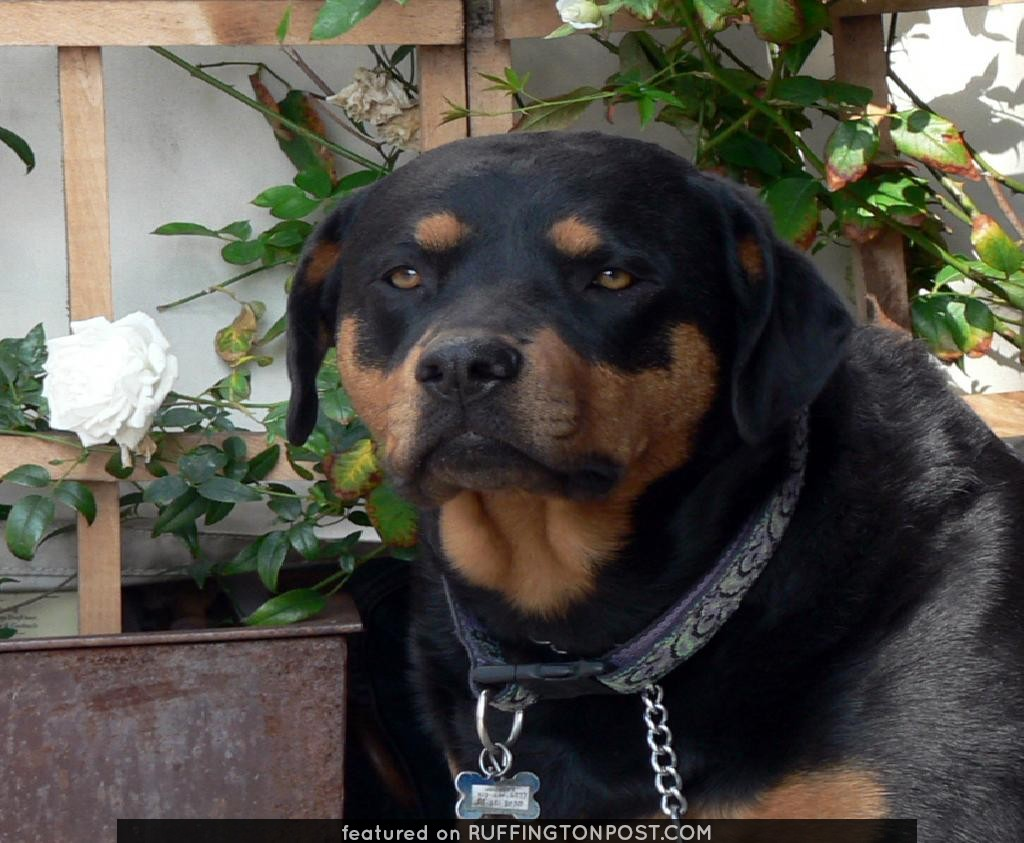 Rottweiler at Figaro Cafe