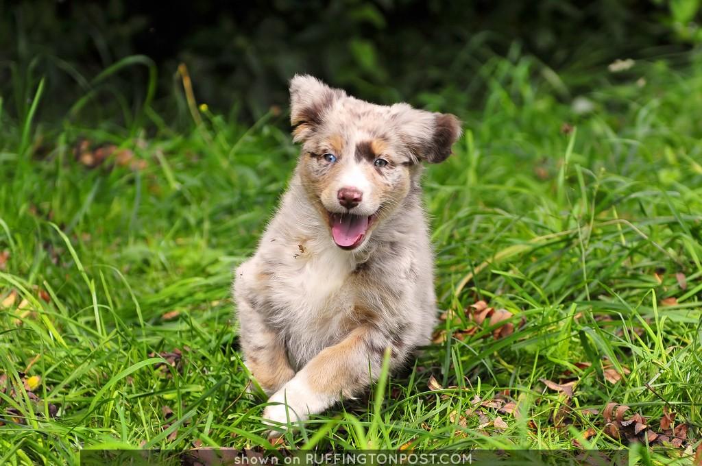 Running happy puppy