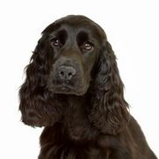 What Type of Shampoo to Use on a Cocker Spaniel | eHow