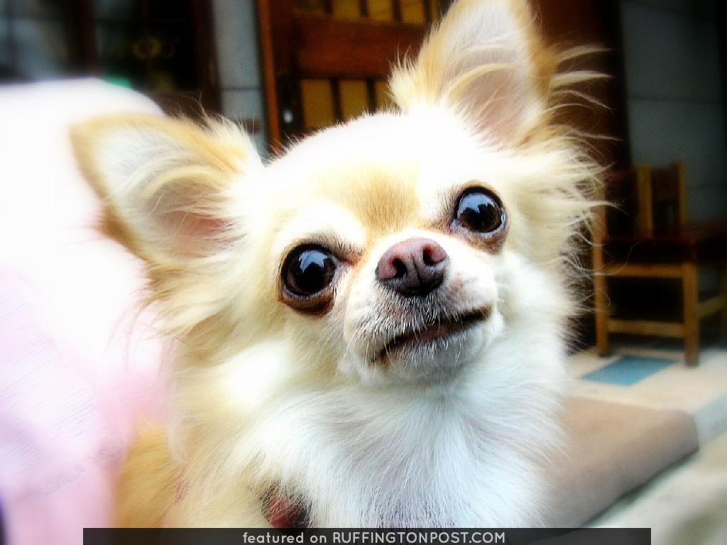Meet Long Haired Chihuahua Uta Ruffington Post