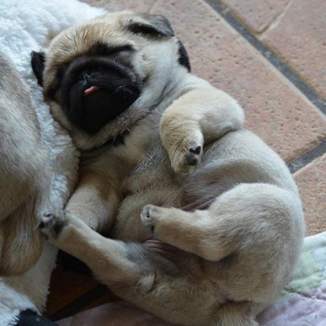 Snoozin' Pug Pup
