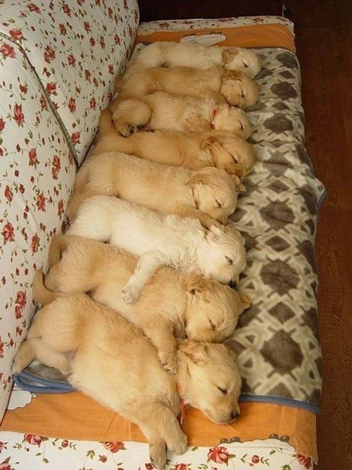 8 Retriever pups napping