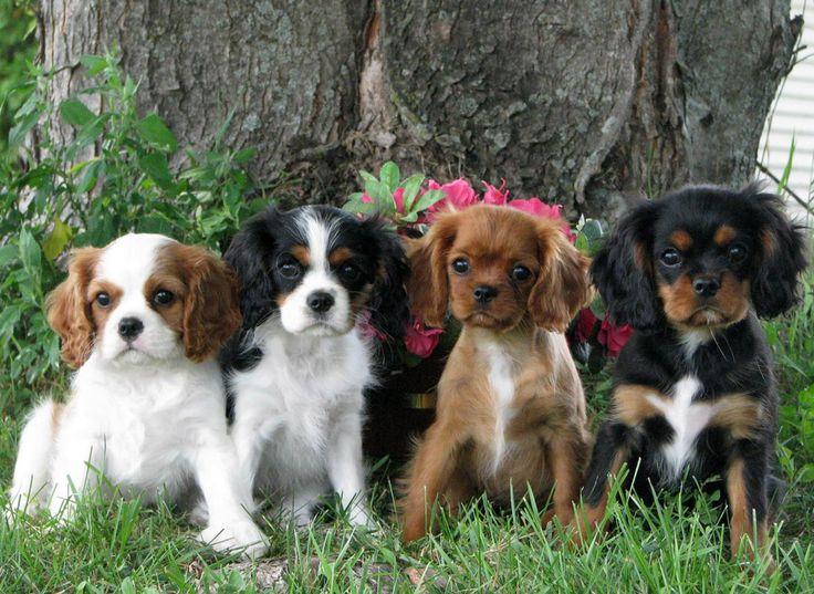4 Cavalier King Charles Spaniel pups