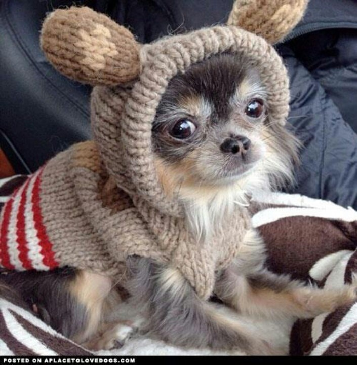 Long haired Chi in a sweet sweater