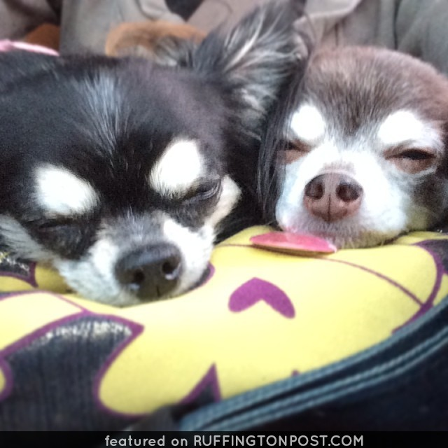 Two Chis Snoozing