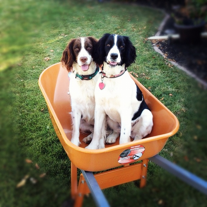 Two spaniels ready to help in the garden