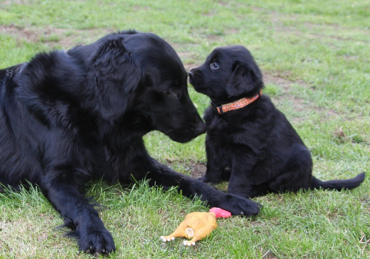 Flat Coated Retriever family