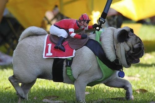 Racing Pug