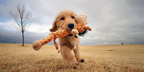 Pup retrieves a giraffe!