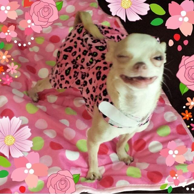 Winkin' Chihuahua