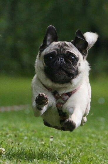 Floating Pug