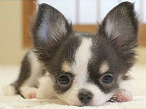 Long-haired Chi cutie