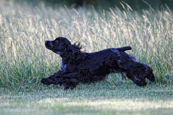 Cocker Spaniel in Action