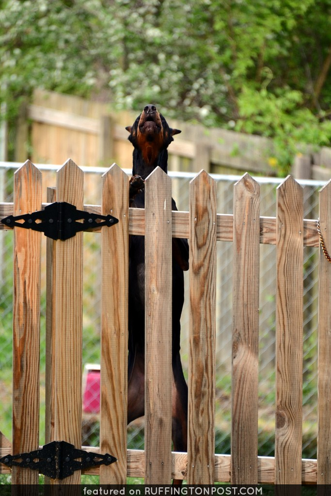 A Fence Doberman