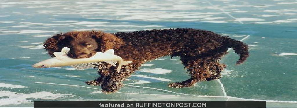 """American Water Spaniels: American Water Spaniel Noma's Flushing Fritz (""""Fritz"""")"""