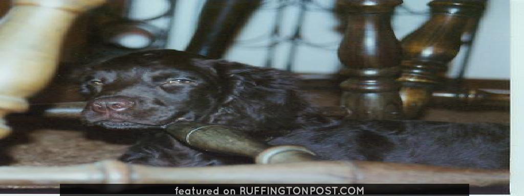 """American Water Spaniels: American Water Spaniel Noma's Highball Holly (""""Holly"""")"""